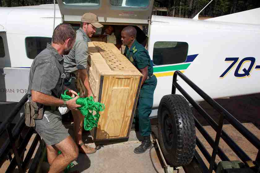 2.-A-Cheetah-translocated-from-South-Africa-is-offloaded-from-the-aircraft-before-being-safely-transferred-to-the-boma-in-Liwonde-Copyright-African-Parks-Frank-Weitzer-3